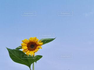 空,夏,ひまわり,晴天,黄色,水色,向日葵,黄,空色