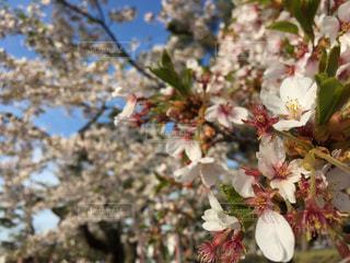 自然,花,春,桜,屋外,北海道,花見,お花見,函館,ライフスタイル,五稜郭,花見旅行