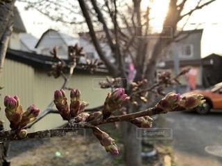 自然,花,春,桜,屋外,北海道,花見,つぼみ,お花見,ドライブ,ライフスタイル,増毛駅