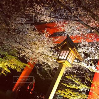 桜,夜,神社,鳥居,花見,夜桜,明かり,雰囲気,灯
