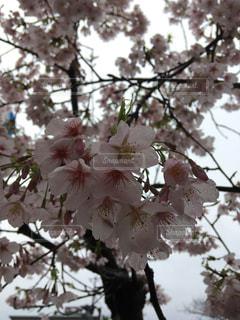 風景,空,花,桜,屋外,鮮やか,樹木,曇り空,河津桜,草木,日中,ブロッサム,淡いピンク色