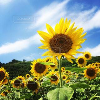 黄色の花の写真・画像素材[1850492]