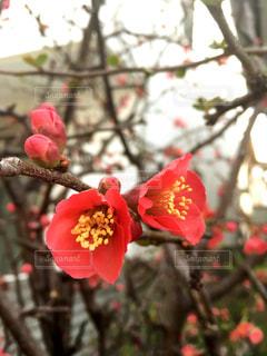 梅の花 紅梅の木の写真・画像素材[3019552]