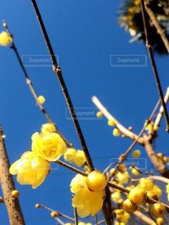 黄梅のクローズアップと青い空の写真・画像素材[3019551]