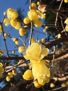 黄色い黄梅と青空の写真・画像素材[3019553]