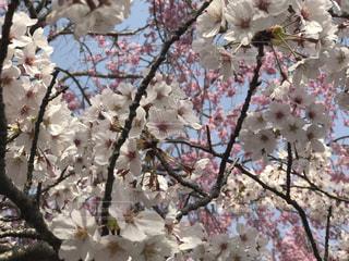 木の枝に紫色の花一杯の花瓶の写真・画像素材[1847660]
