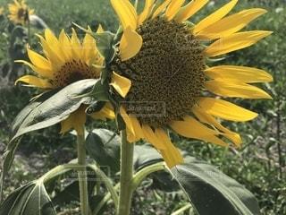 ひまわり,黄色,向日葵