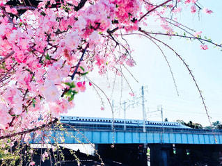 自然,春,桜,ピンク,新幹線,桜の花,さくら