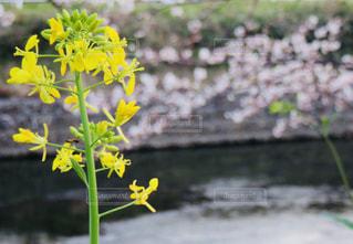 自然,花,春,桜,黄色,菜の花,景色