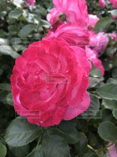 お花畑,赤,綺麗,バラ,お花,可愛い,バラ園