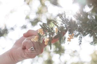春,黄色,指輪,花見,光,ミモザ