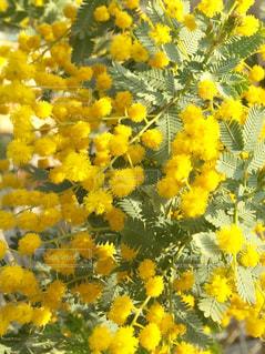 花,フラワー,黄色,flower,ミモザ,イエロー,カラー,color,黄,yellow,春の花,多彩,黄花,mimosa