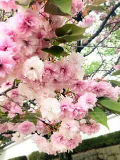 花,春,桜,ピンク,散歩,花見,景色,満開,お花見,日本,八重桜,四季,草木,さくら,風景写真,花写真,日本の春