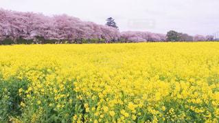 桜と菜の花のコントラストが素敵な1枚!の写真・画像素材[1849928]