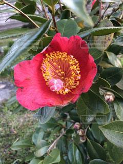 花,椿,赤い
