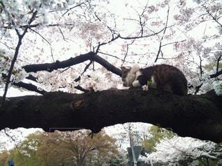猫,自然,春,お花見,上野動物園,さくら