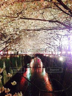 春,夜,川,夜桜,都会,目黒川,さくら
