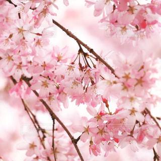 花,春,桜,サクラ,入学,新生活,入園,4月,さくら,画像素材