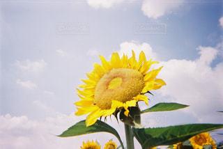 自然,空,花,屋外,植物,ひまわり,黄色,向日葵,草木