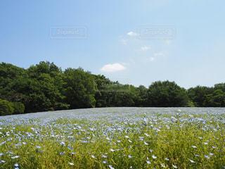 晴天のネモフィラ畑の写真・画像素材[1885001]
