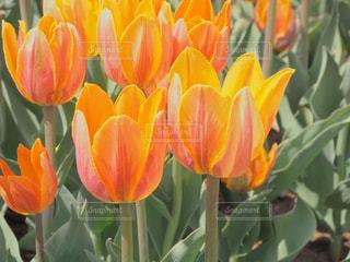 オレンジ色のチューリップのアップの写真・画像素材[1901451]
