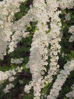 小さい白い花達の写真・画像素材[1901677]