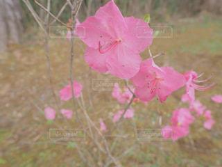 ピンクのツツジの写真・画像素材[1901822]