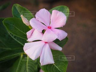 タヒチで見つけたピンクの花の写真・画像素材[1902105]