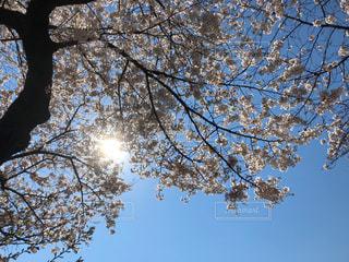 快晴の中の桜の写真・画像素材[1955504]