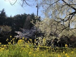 白い桜と黄色の菜の花の写真・画像素材[2007503]