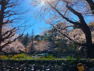 青空に映えるピンクの桜と自転車の写真・画像素材[2007564]
