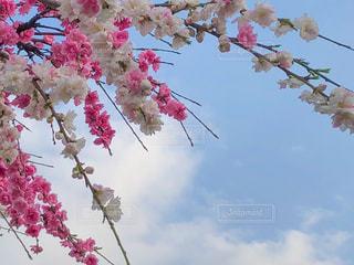 ピンクと白の桜の写真・画像素材[2026840]