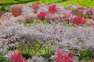 花,春,梅,アブラナ,ウメ,ハル
