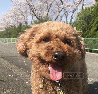 犬,桜,動物,花見,笑顔,可愛い,トイプードル,保護犬,KAWAII,4月,もふもふ,ポカポカ