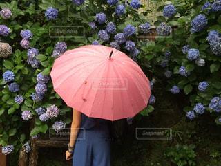 ピンクの傘を持っている女性の写真・画像素材[2181406]