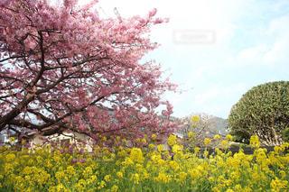 空,桜,木,ピンク,青空,青,黄色,菜の花,河津桜
