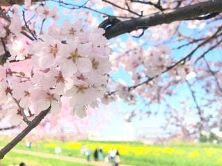 春,桜,菜の花,お花見,コントラスト,幸手,さくら,ブロッサム,blossom