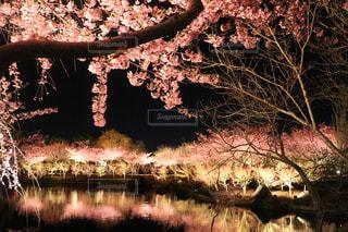 桜,ピンク,夜桜,ライトアップ,三重,なばなの里,長島