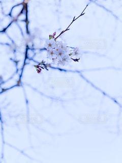 空,公園,花,桜,屋外,枝,樹木