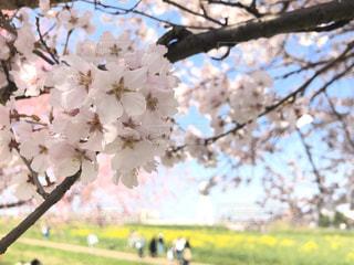 空,花,春,屋外,ピンク,黄色,菜の花,水色,草,樹木,草木,桜の花,さくら,ブルーム,ブロッサム
