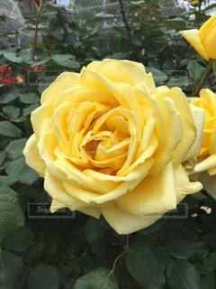 花,花畑,黄色,バラ,美しい,バラ園,幸せ,小田原