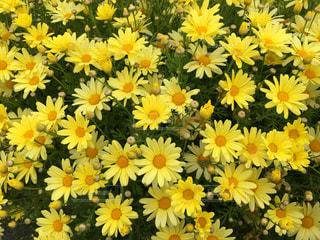 花,花畑,黄色,アメリカ,美しい,可愛い,フラワーガーデン,カールズバッド