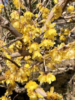 春,黄色,幸せ,蝋梅