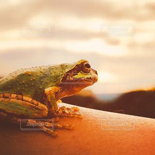 夕陽を見つめるカエルの写真・画像素材[1863885]