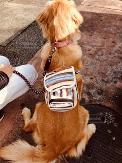 犬,後ろ姿,お散歩,リュックサック