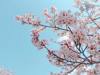 空,春,桜,ピンク,花見,サクラ,さくら,cherryblossom