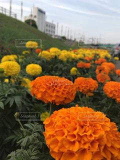 風景,花,鮮やか,カラー,マリーゴールド