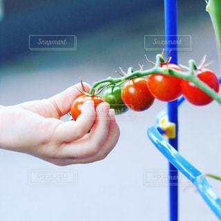 ミニトマトを摘む子どもの手の写真・画像素材[2854187]