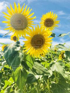 花,夏,ひまわり,青空,黄色,向日葵,ひまわり畑,草木