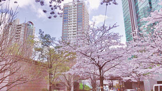 桜,ビル,青空,お花見,都会,桜吹雪